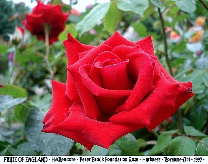 Rose pride of england harencore peter brock foundation rose 1997 harkness roses passion