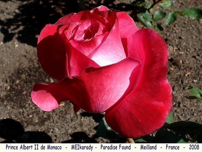 Rose prince albert 2 de monaco meikarady paradise found meilland 2008 roses passion