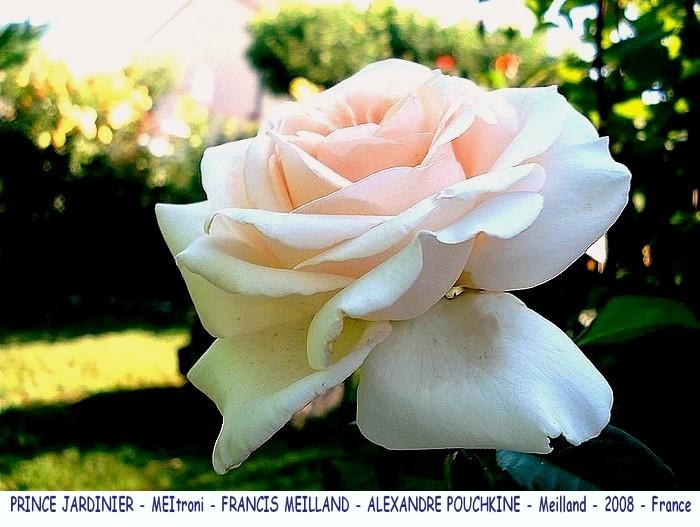 Rose prince jardinier meitroni francis meilland alexandre pouchkine meilland france 2008 roses passion