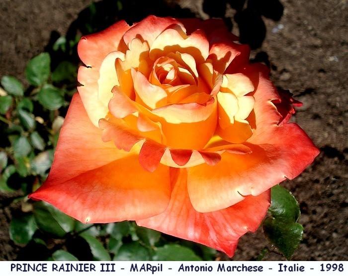 Rose prince rainier 3 marpil antonio marchese italie 1998 roses passion
