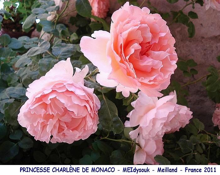 Rose princesse charlene de monaco meidysouk meilland france 2011