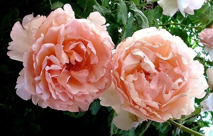 Rose princesse charlene de monaco meidysouk meilland roseraie monaco