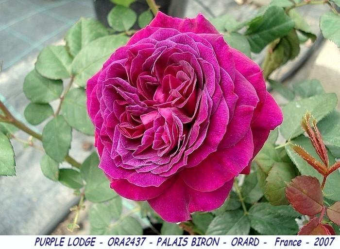 Rose purple lodge ora2437 palais biron orard france 2007 roses passion