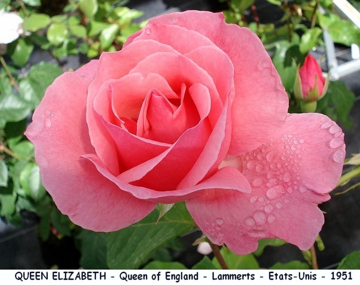 Rose queen elizabeth queen of england lammerts etats unis 1951 roses passion