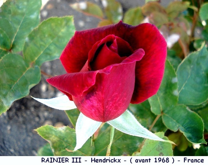 Rose rainier 3 hendrickx france roses passion 1