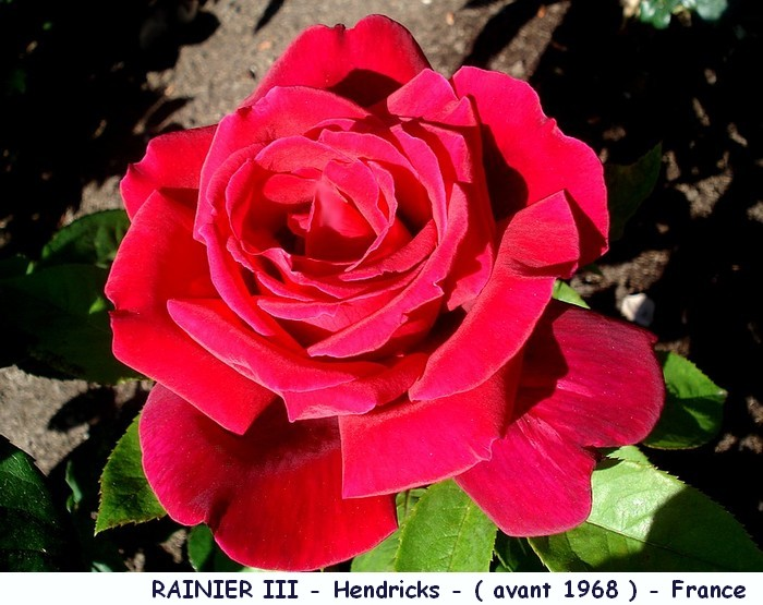 Rose rainier 3 hendrickx france roses passion 2