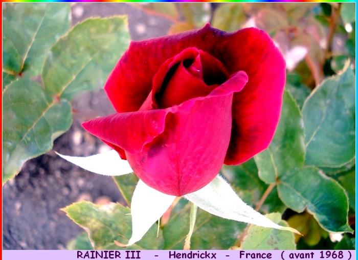 Rose rainier iii hendrickx avant 1968 roses passion 1