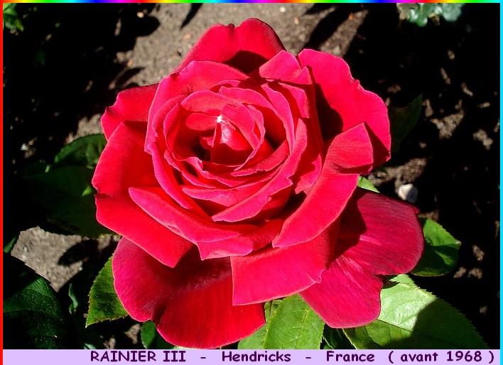 Rose rainier iii hendrickx avant 1968 roses passion 2