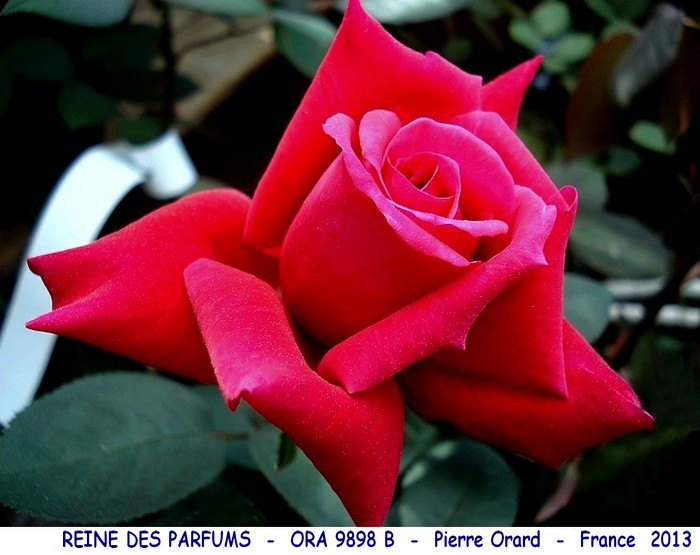 Rose reine des parfums ora 9898 b pierre orard france 2013 rosespassion