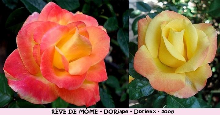 Rose reve de mome dorjape francois dorieux 2005 roses passion