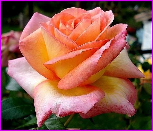 Rose roberto alagna adaraquatro michel adam nirp alterarosa 2016 roses passion