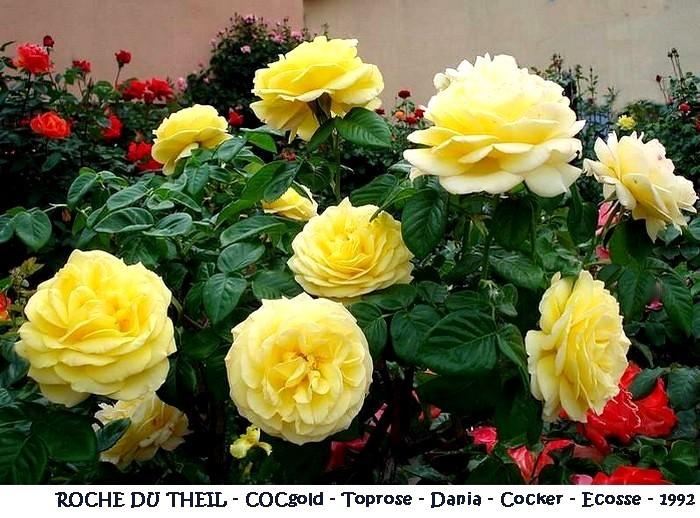 rose-roche-du-theil-cocgold-toprose-dania-cocker-1992.jpg