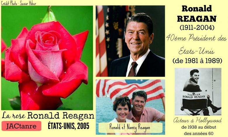 Rose ronald reagan jactanre zary etats unis 2005 roses passion 2j