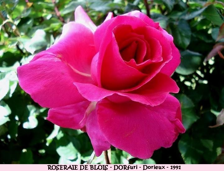 Rose roseraie de blois dorfuri francois dorieux 1991 roses passion