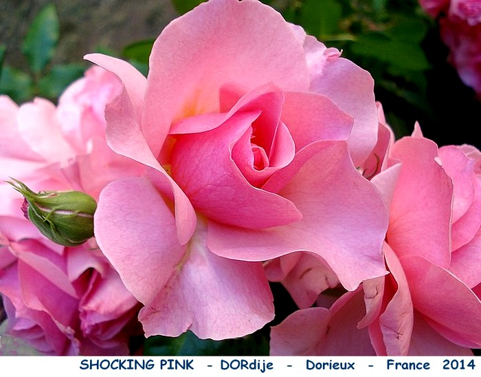 Rose shocking pink dordije dorieux france 2014