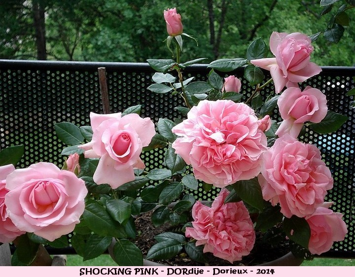 Rose shocking pink dordije francois dorieux 2014 photo arlette roses passion
