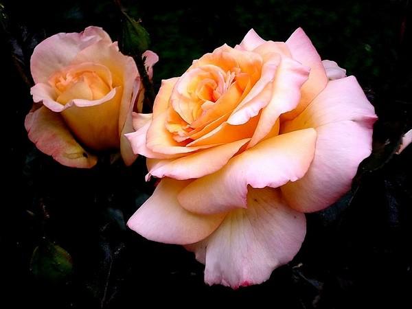 Rose soledad dorcobo 0156