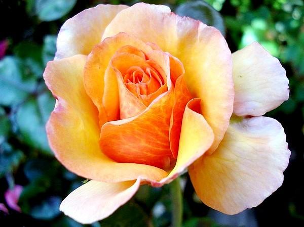 Rose soledad dorcobo 0228