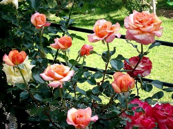 Rose soledad dorcobo 0488