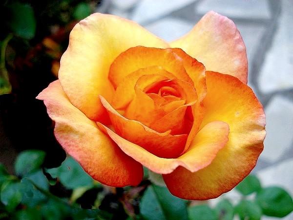 Rose soledad dorcobo 05224