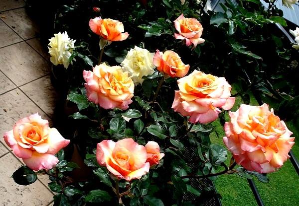 Rose soledad dorcobo 0543