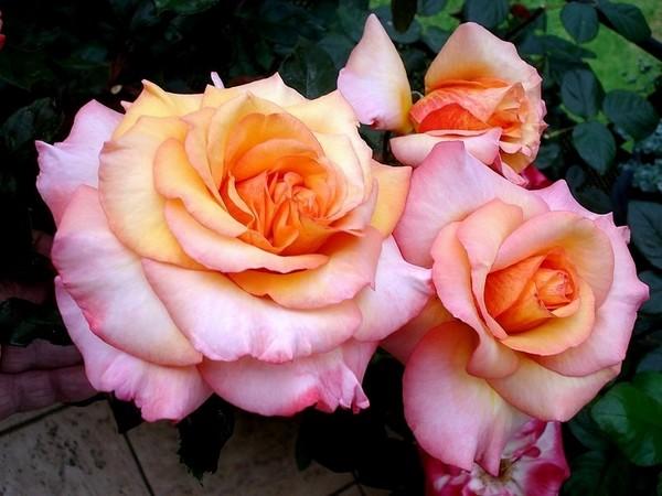Rose soledad dorcobo 0557