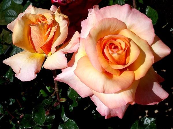 Rose soledad dorcobo 0559
