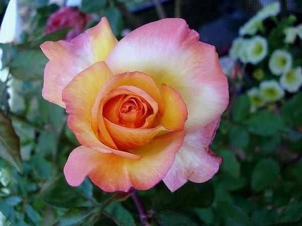 Rose soledad dorcobo 07365