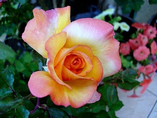 Rose soledad dorcobo 07366