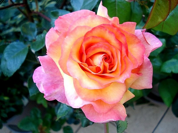 Rose soledad dorcobo 0757