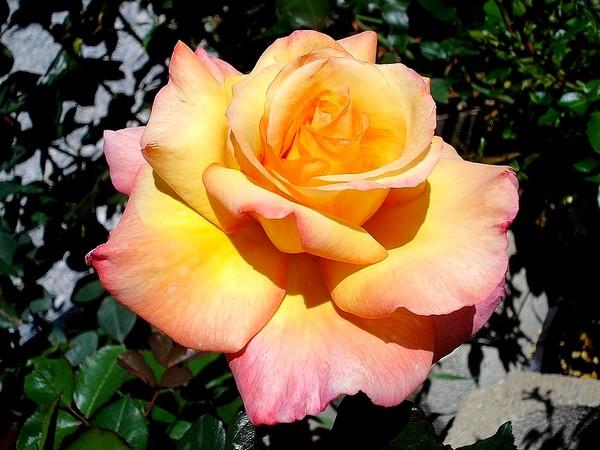 Rose soledad dorcobo 07611