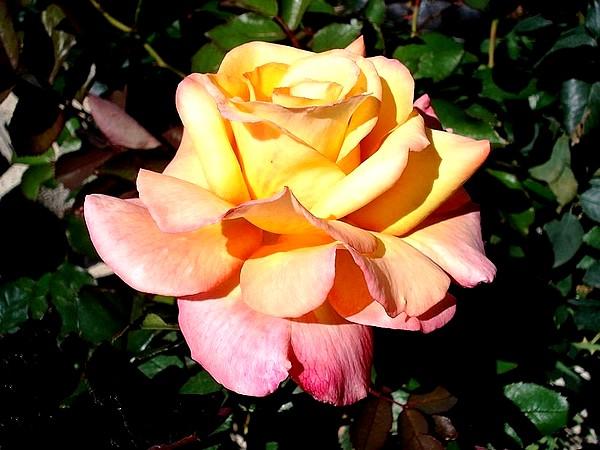 Rose soledad dorcobo 07612