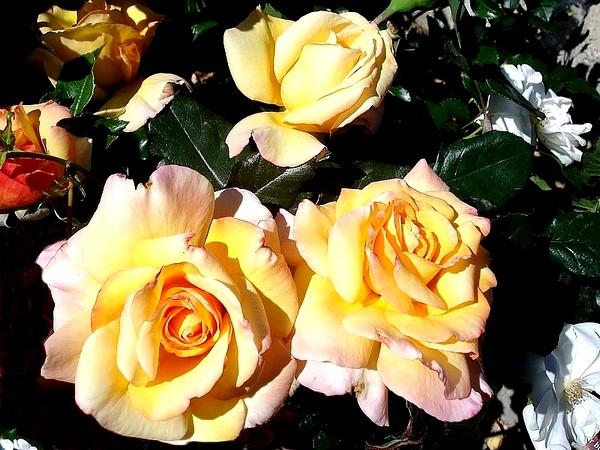 Rose soledad dorcobo 07630