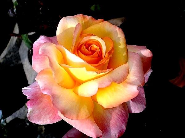 Rose soledad dorcobo 7797