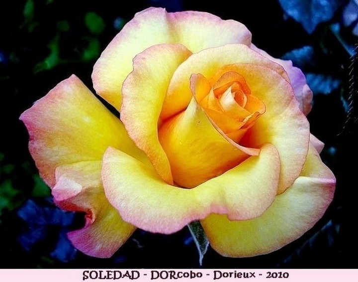 Rose soledad dorcobo francois dorieux 2010 roses passion
