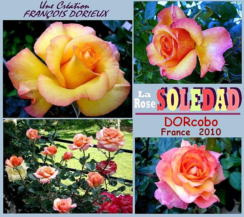 Rose soledad dorcobo francois dorieux france 2010 roses passion