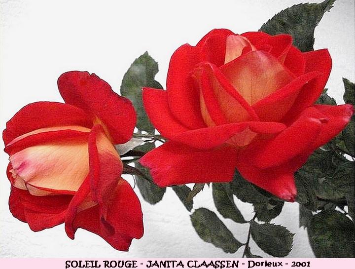 Rose soleil rouge dorille janita claassen 2001 francois dorieux roses passion