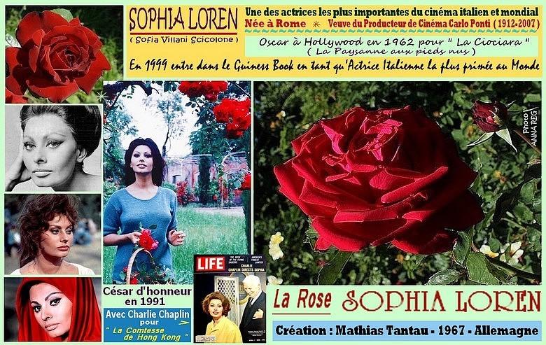 Rose sophia loren mathias tantau 1967 allemagne 4515