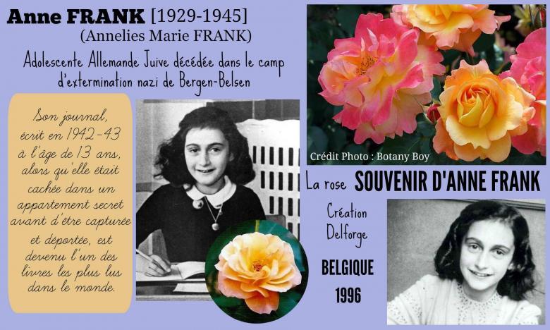 Rose souvenir d anne frank hippolyte delforge belgique 1960 roses passion 2j