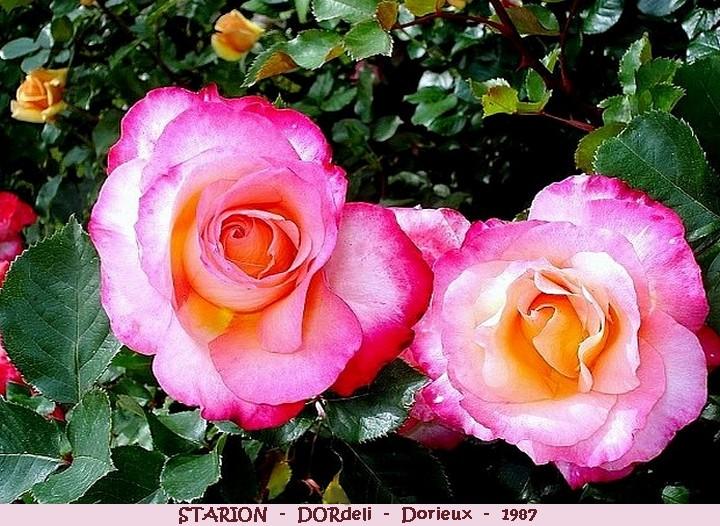 Rose starion dordeli francois dorieux 1987 roses passion