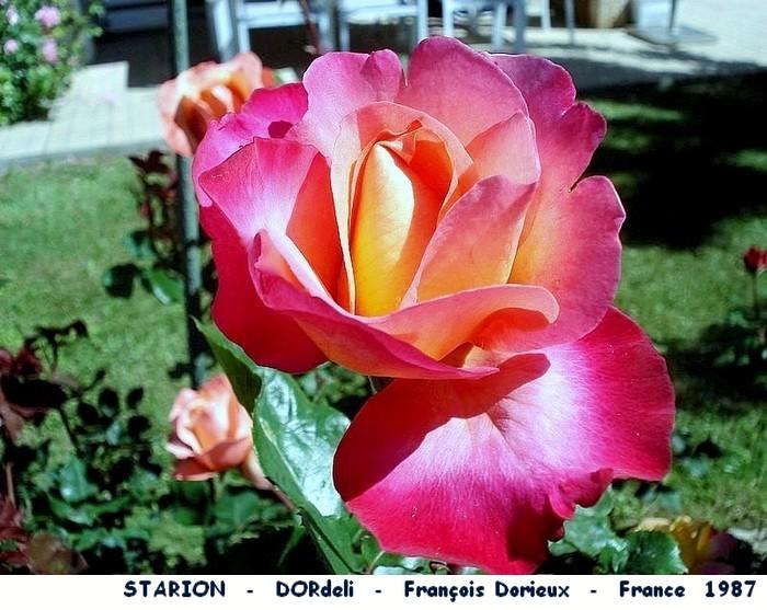 Rose starion dordeli francois dorieux france 1987