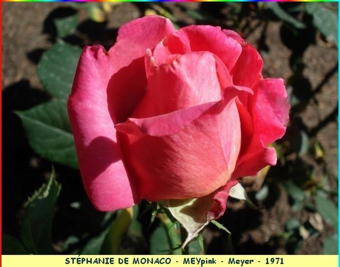 Rose stephanie de monaco meypink meyer 1971 c07380