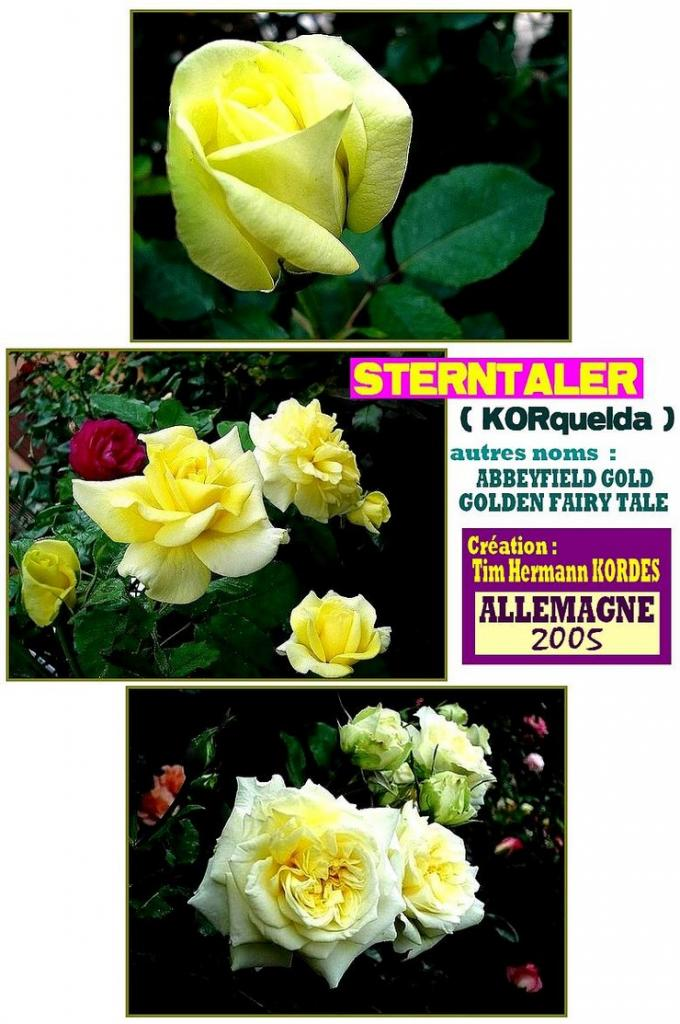 rose-sterntaler-belle-rose-jaune-abbeyfield-gold-golden-fairy-tale-1.jpg