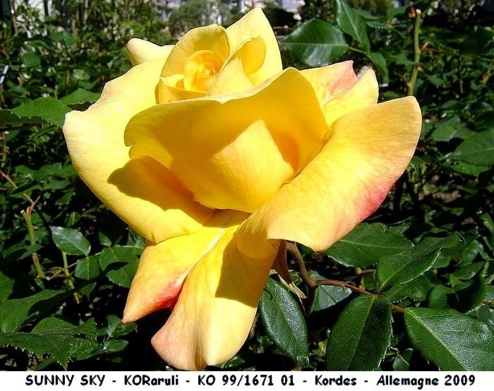 Rose sunny sky koraruli ko 99 1671 01 kordes 2009 roses passion