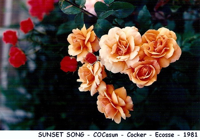 Rose sunset song cocasun cocker ecosse 1981 roses passion