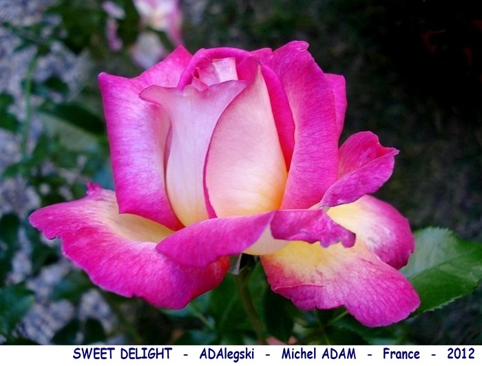 Rose sweet delight adalegski michel adam france 2012 07182