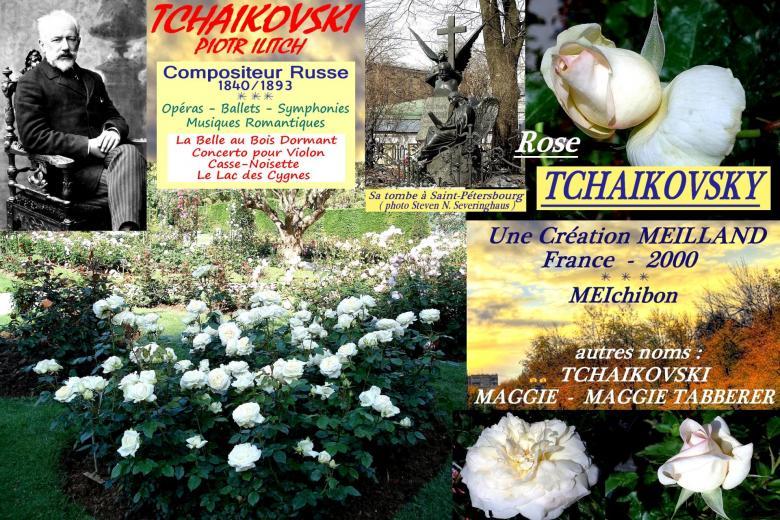 Rose tchaikovsky meichibon tchaikovski maggie maggie tabberer meilland roses passion