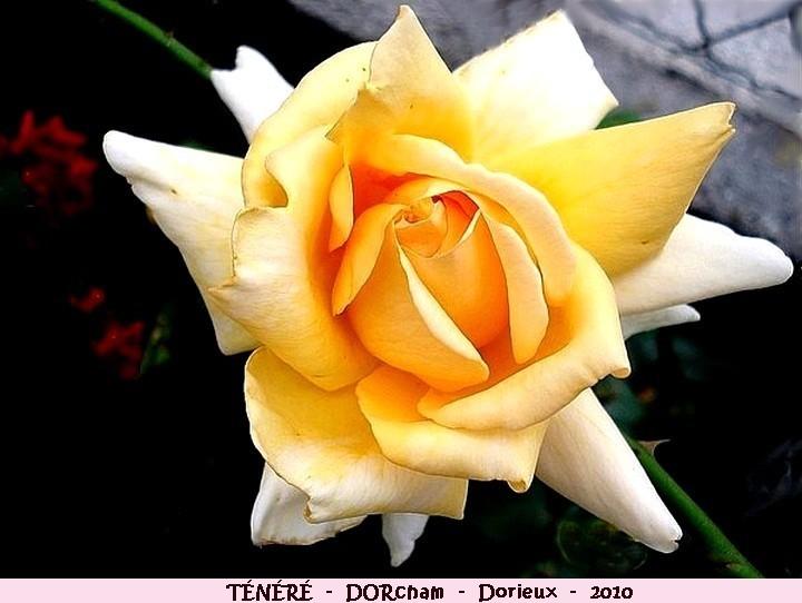 Rose tenere dorcham francois dorieux 2010 roses passion
