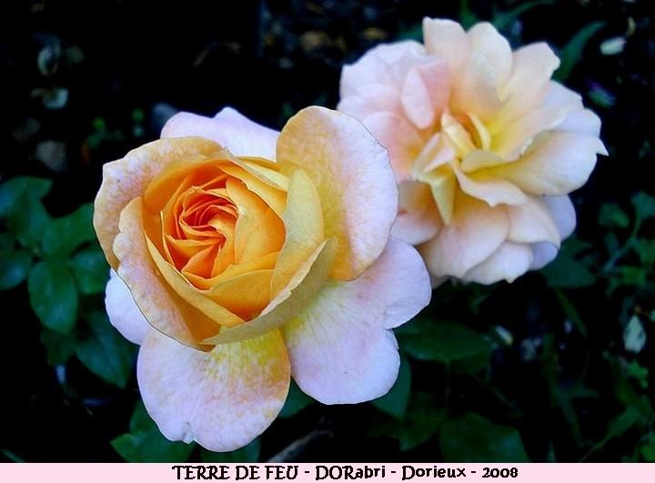 Rose terre de feu dorabri francois dorieux 2008 roses passion