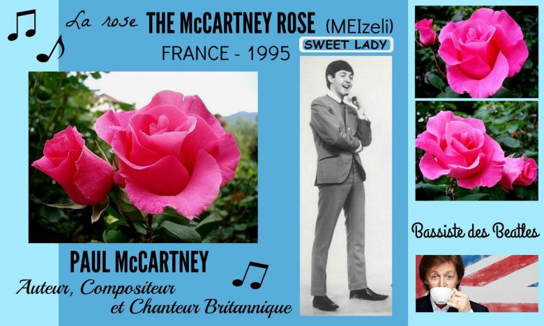 Rose the mccartney rose meizeli paul mccartney sweet lady meilland france 1995 roses passion 2j
